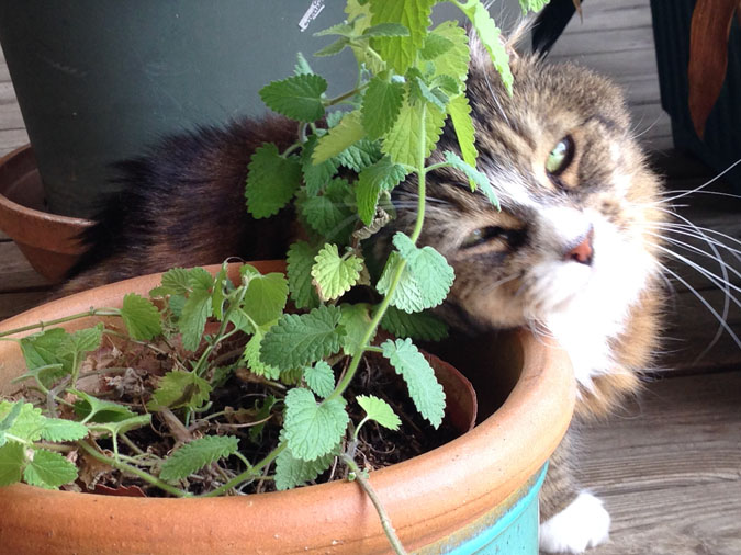 Tamale, CEO of Stark Raving Cat, rubs a Catnip Plant