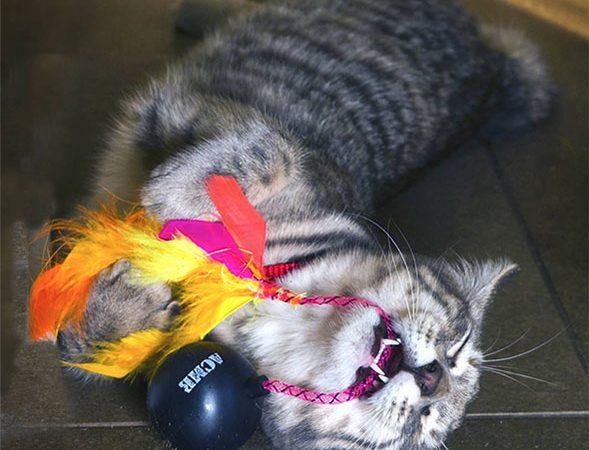 Tortellini with Acme Cat Bomb Catnip Toy