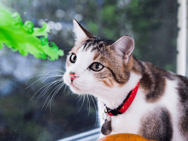 Prosciutto wears Neko collar and sniffs butterfly feather