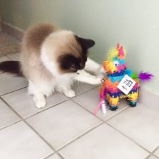 Ashley Kelley's cat with pinata