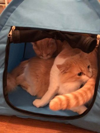 Two Cats in Blue Tent